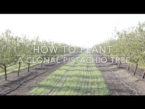 Duarte Nursery How To Plant A Clonal Pistachio Tree