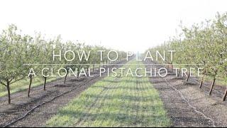 Duarte Nursery: How to Plant a Clonal Pistachio Tree