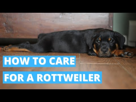 Rottweiler - A Quick How To Care Tips & Advice