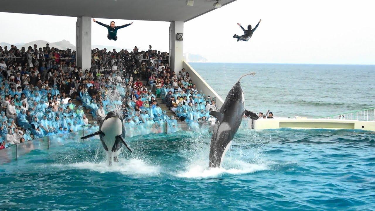 โชว์ ปลาวาฬเพชรฆาต