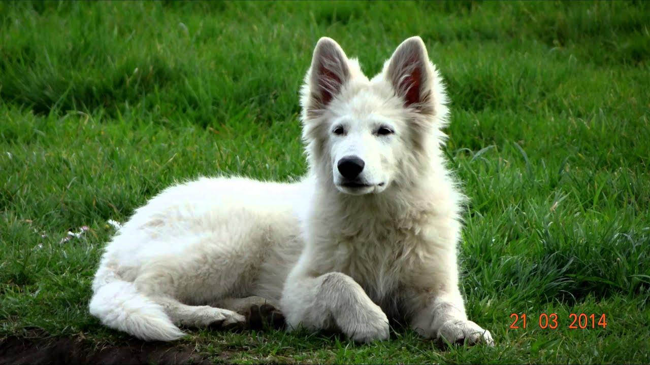 Imeth berger blanc suisse de 1 a 6 mois - YouTube