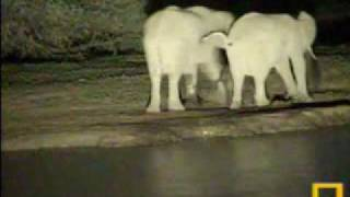 Elephants Visit & Baby Falls in Water - Pete
