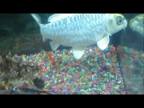Koi Fish Eats Fish