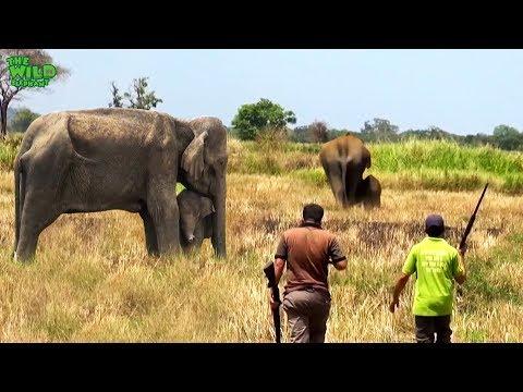 Big injured tusker elephant gets treatment | Vet doctors treat injured wild elephant