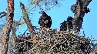 SWFL Eagles_E's Get Airtime, Stand On Top Rail, Spar With Wings/Beaks 02-19-18