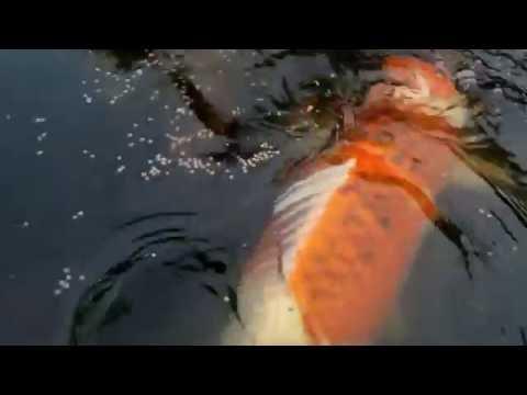 Ikan Koi Monster di kolam Penangkaran