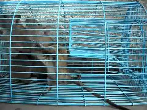 Bẫy Chuột TMN2 - Bẫy 1 lần nhiều con , kể cả chuột cống - nguoibanhang.vn