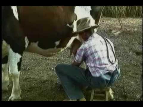 Porno con vacas