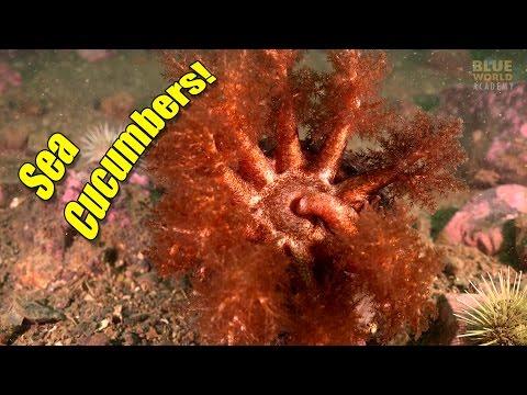 Sea Cucumbers | BLUE WORLD ACADEMY