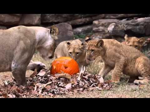 Halloween Pumpkin Treats For Fort Worth Zoo Lions