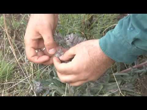 Ödüllü Botanikçi 3 Yeni Nakıl Bitkisi Keşfetti