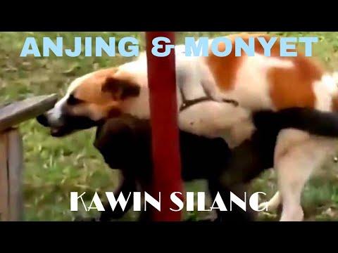 KAWIN SILANG ANTARA MONYET & ANJING
