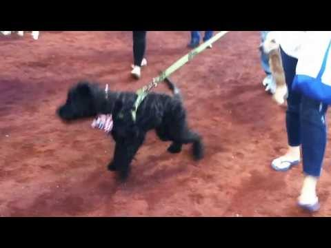 Buddy The Portuguese Water Dog at Citi Field: Bark In The Park