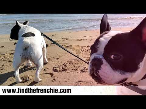 Buoledogue Francese al mare. Dante e Mia giocano in spiaggia Jesolo. - Find The Frenchie