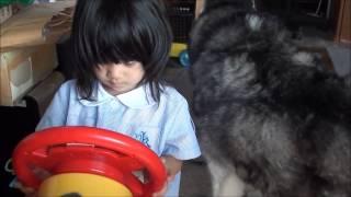 幼稚園から帰宅して、一人遊びをしたい孫娘のりりか 犬達はりりかを待っ...
