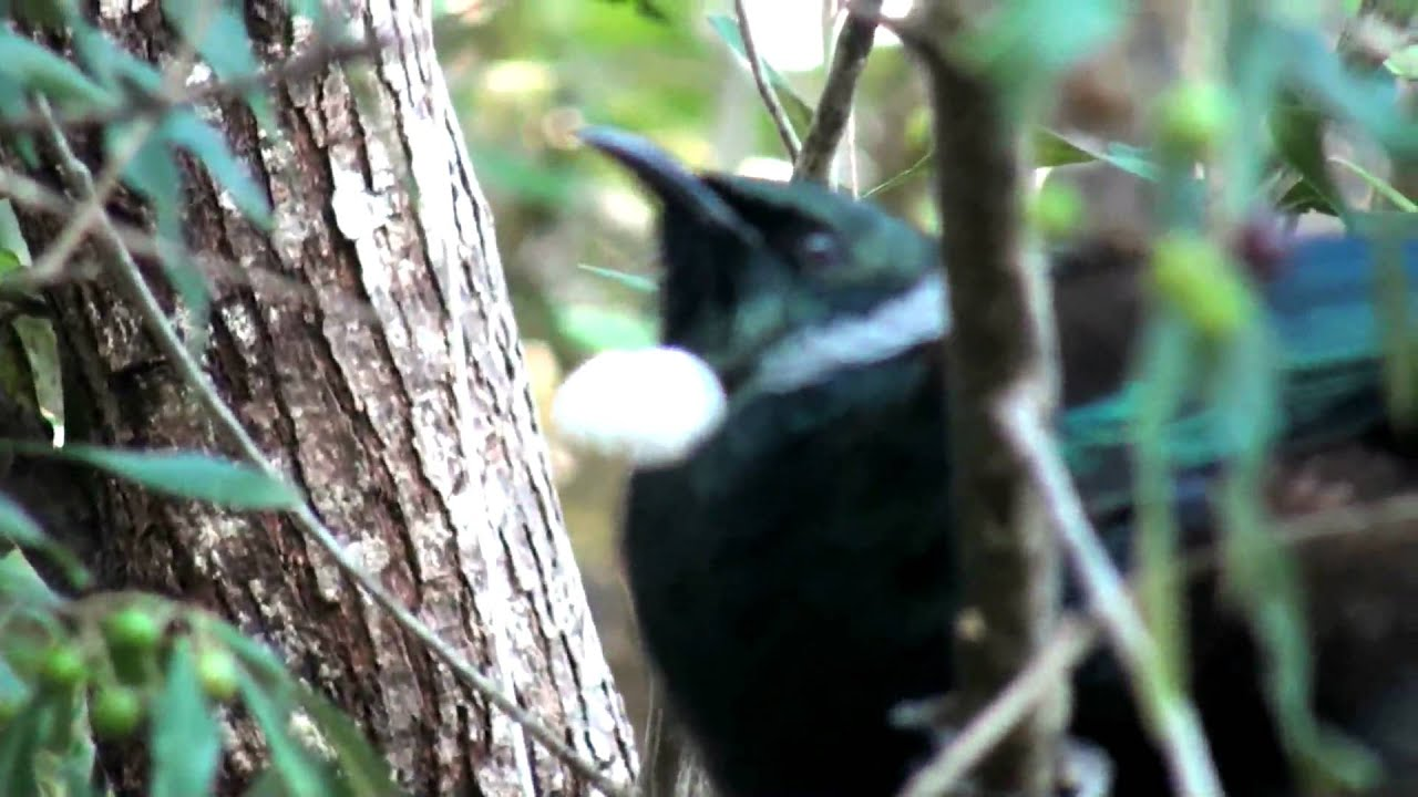 Tui Bird Sounds
