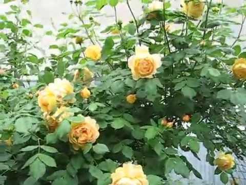 Цветение английской  розы   Golden Celebration на арке 2015 #розыдэвидаостина,