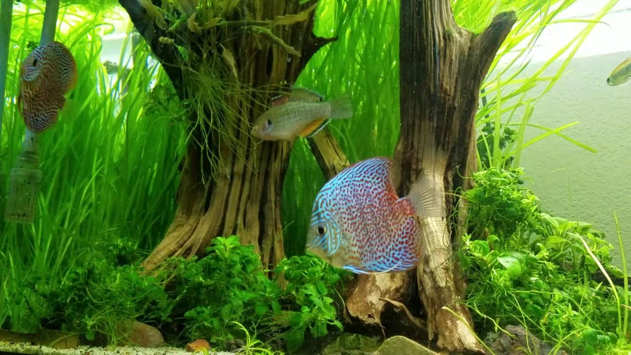 classic snakeskin discus grow out tank planted 65 rimless aquarium