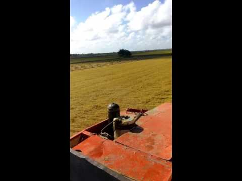 Paddy harvesting Zorg Essequibo Coast,Guyana.