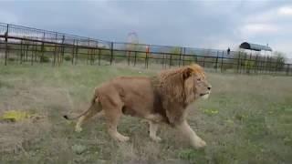 Львы Витя и Филя -большие коты , а Марсель -МЕГА  САМЕЦ !!!