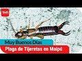 Plaga de tijeretas mantiene desesperados a vecinos de Maipú   Muy buenos días   Buenos días a todos