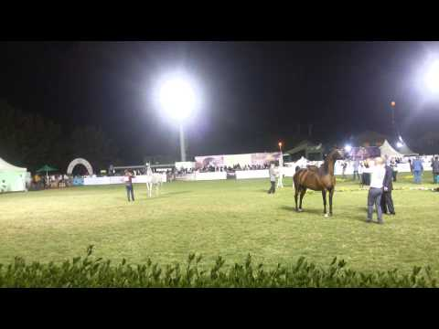 Horse show in jeddah