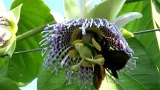 Polinización de Passiflora ligularis x abejorro (Xylocopa)