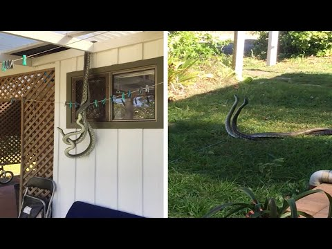 Snakes Mating Outside Kitchen Window