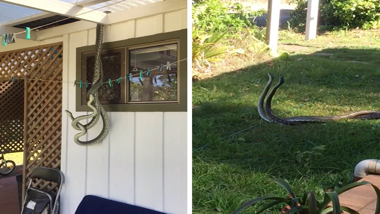 snakes mating outside kitchen window youtube