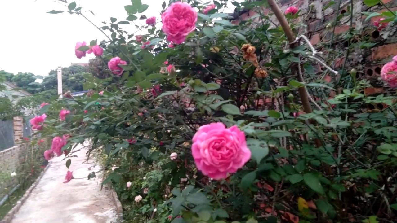 Loài hoa hồng cổ hoa thơm đẹp, được dân chơi hoa trồng nhiều nhất