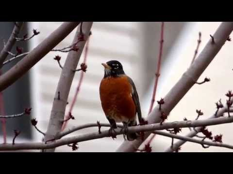 Birds in their natural habitat-american robin calling