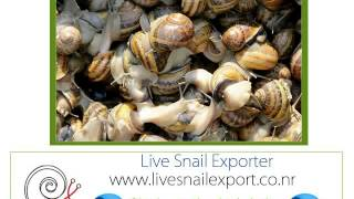 importer Exporter wholesale suppliers snail Achatina fulica