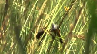 Capuchino Garganta Café (Sporophila Ruficollis)1.mpeg