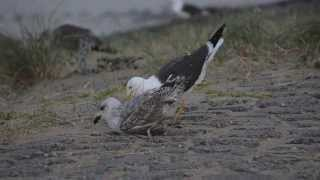 Pair-bonding behaviour between adult Lesser Black-backed Gull and 2cy Herring Gull
