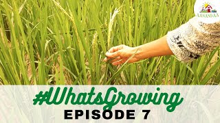 #WhatsGrowing @Aanandaa Permaculture Farm | Episode 7 [20.08.2020]