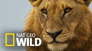 Lew z afrykańskiej sawanny - Polowanie padlinożerców