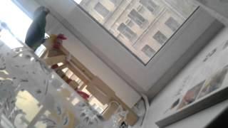 Филькин стенд для игр :-)(Вы можете заказать у меня любой стенд,как для волнистика,так и для самых больших попугаев:-) таких как ара.У..., 2012-10-22T12:49:21.000Z)