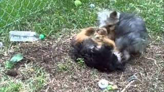 YORKIE FIGHT!!!