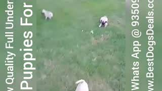 Pug Puppies For Sale Full Undersose 9350926445