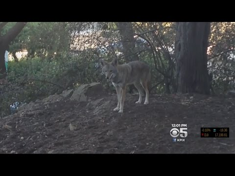 Coyote Spotted Strolling Near Tourists On San Francisco's Telegraph Hill