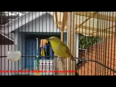 Kumpulan Suara Burung Pleci / Perci Gacor Untuk Masteran