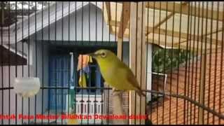 Download Mp3 Kumpulan Suara Burung Pleci / Perci Gacor Untuk Masteran