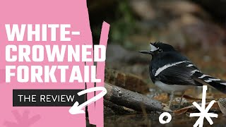 Whitecrowned Forktail
