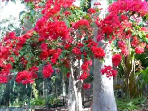 how to train bougainvillea to walls