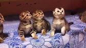 Продажа кошек и котят на petshop. Ru от заводчиков. Пермь (1); ростов-на дону (12). Продаются чистокровные британские кошечки от титулованных.