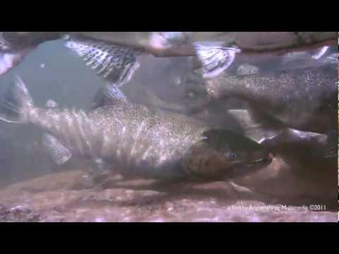 Salmon Run - Bronte Creek Underwater HD