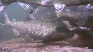 Salmon Run - Bronte Creek Underwater HD