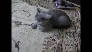(№5) Британские котята 1,5 месяца.