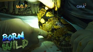 Born to Be Wild: Reticulated python undergoes lump removal procedure