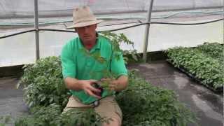 Vegetable Series: Cherry Tomatoes